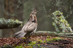 Ruffed Grouse at Palmquist Farm